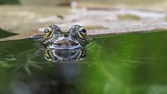 Grenouille (Dakysto94) Tags: animal nature macro grenouille frog