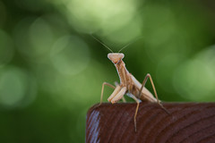 just chillin' (Emma Varley) Tags: prayingmantis insect wild crete greece august picnic bench shallowdepthoffield bokeh trees green chilling