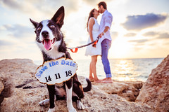Coli's version of Save the date! (fried oreo cookie) Tags: wedding savethedate save date dog pet doggy coli invitation beach water sea cute married gettingmarried friends friendship romantic sky sunset twilight