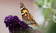 """painted lady ( """"Vanessa cardui"""" ) (bugman11) Tags: paintedlady vanessacardui distelvlinder vlinder fauna bokeh bug bugs nature butterfly butterflies animal animals insect insects canon 100mm28lmacro haarlem thenetherlands nederland flora flower flowers macro"""