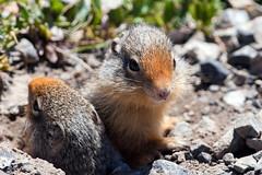 Ground Squirrels (Bill Clark_photos) Tags: banff alberta canada kananaskis