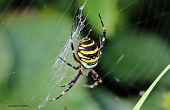 Wasp Spider J78A0487 (M0JRA) Tags: bugs butterfly flowers grass fields parks woods lakes ponds gardens spiders