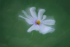 Dancing Cosmos (Summername) Tags: flowers cosmos nature flora floral botanical canon flickr