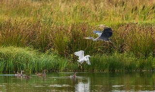 Heron fly pass