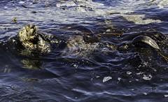 Sea Otter (Blazing Star 78613) Tags: seaotter edwardfrickettsstatemarineconservationarea montereybaycalifornia montereybay california californiacoast westcoast