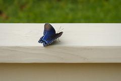 Just Resting (Modkuse) Tags: redspottedpurplelimenitisarthemisastyanax butterfly insect fujifilm fujifilmxt2 xt2 xf55200mmf3548rlmois fujinonxf55200mmf3548rlmois
