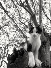 Maca (roksoslav) Tags: postira brač dalmatia croatia 2018 cat mačka kitty maslina