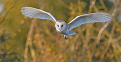 Silence Is Golden (KHR Images) Tags: barnowl barn owl tytoalba wild bird birdofprey daylight hunting flying inflight cambridgeshire fens wildlife nature nikon d500 kevinrobson khrimages