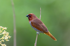 Spice Finch3 (Subash BGK) Tags: scalybreastedmunia spicyfinch spottedmunia nutmegmannikin estrildidfinch finch bird