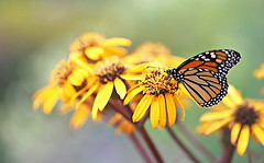 A surprise visitor (Through Serena's Lens) Tags: pollen pollinating yellow flora closeup garden botanical outdoor canoneos6dmarkii dof bokeh petals plant flower colorful insect monarch butterfly