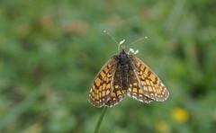 Comme une fleur... (passionpapillon) Tags: macro insecte papillon butterfly passionpapillon 2018