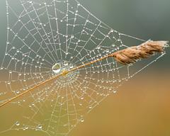 Morning Dew (Chancy Rendezvous) Tags: chancyrendezvous davelawler blurgasm morning dew drops dewdrops web spider grass grain arachnid animal paxton massachusetts moorestatepark park