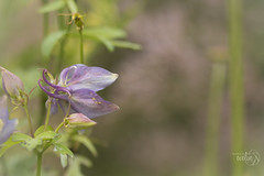 The Columbine... (Karl's Gal) Tags: columbine flower shadeplant karlsgal hbw bokeh