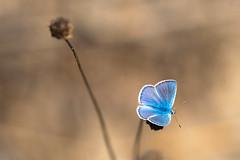Plebejus idas (id?) (fabriciodo2) Tags: plebejusidas argus papillon nature macro sigma150 forêtdefontainebleau