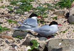 Isle of May 26 May 2018 00037.jpg (JamesPDeans.co.uk) Tags: forthemanwhohaseverything gb greatbritain birds firthofforth arctictern unitedkingdom tern eastneuk scotland britain nature printsforsale wwwjamespdeanscouk fife isleofmay jamespdeansphotography landscapeforwalls europe uk digitaldownloadsforlicence