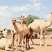 Somali livestock trader