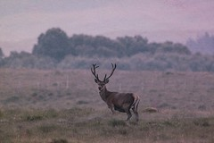 Highland Giraffe (Tracey Rennie) Tags: stag acharacle scotland hss texture wild reddeer