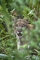 Uno hiding in the brush (ucumari photography) Tags: ucumariphotography uno cougar mountainlion catamount naples zoo florida fl august 2018 animal mammal dsc8144 specanimal