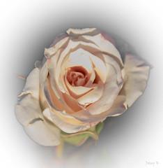 Pink Centre (Jocey K) Tags: newzealand nikond750 christchurch flower rose