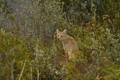 Western Coyote (Rob E Twoo) Tags: canada coyote calgary bow river wildlife nature naturaleza outdoor explore adventure