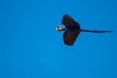Hyacinth Macaw (iamfisheye) Tags: 300mm vr macaw nikon naturetrek brazil2018 brazilsbigfive d500 hyacinthmacaw f4 hyacinth southwild pf wolfcamp paranaíbariverheadwatersnationalpark