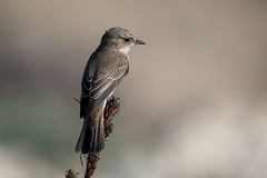 Spotted Flycatcher (Simon Stobart) Tags: spotted flycatcher muscicapa striata perched branch stick spain