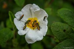 Siete son multitud (SantiMB.Photos) Tags: 2blog 2tumblr 2ig cerdanyola collserola bosque forest flores flowers insectos insects cistussalviifolius jaramorisca lobonyxaeneus geo:lat=4146650977 geo:lon=212578015 geotagged cerdanyoladelvalles cataluna españa esp