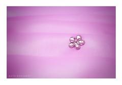 Pink (ruthehrhardt) Tags: smileonsaturday miniinminimalism pink closeup nikond5300 minimalism frame