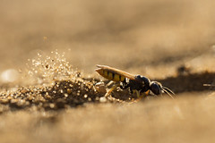 Beewolf Digging (Daniel Trim) Tags: beewolf bee wolf flying with prey cargo flight philanthus aculeata crabronidae european hymenoptera triangulum wasp arthropod arthropoda beeeating macro insect sky digging