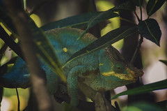 Madagascar - Cameleon (Jarecki Photography) Tags: madagascar madagaskar trip holiday lemur nos iranja nose be jarecki adventure wale turtles sea ocean africa cameleon boa spider rum fishing island