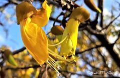473. SPRING IS UNDERWAY: Kowhai Peekaboo (Meili-PP Hua 2) Tags: flowers petals buds blossoms blooms flora spring trees springflowers yellow yellowflowers macro bright closeup stamens stigmas mlpphflora kowhai kowhaiflowers photographypassionsxyz
