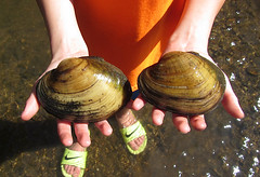 Sexual dimorphism in mussels (Matthew Ignoffo) Tags: mussel illinois matthew alan ignoffo spike plain pocketbook ellipse elliptio dilatata venustaconcha ellipsiformis lampsilis cardium lasmigona costata rare endangered declining animal creek spring river