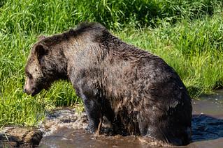 Grizzly Bär Bad