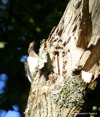 Immature Red-headed Woodpecker_N7572-001 (Henryr10) Tags: eastforklake eastforkstatepark bethelohio littlemiamiriverbasin usa southbeach melanerpeserythrocephalus melanerpes redheadedwoodpecker woodpecker avian bird vogel ibon oiseau pasare fågel uccello tékklistar rhwo