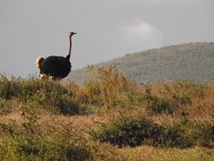 3705ex Scouting the Ngorongoro Crater (jjjj56cp) Tags: bird birds aves ostrich masaiostrich male malemasaiostrich feathers plumage ngorongorocrater tanzania africa unescoworldheritagesite safari africansafari inthewild sevennaturalwondersofafrica p900 jennypansing crater ngorongoro grasses