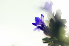 and reflection (daniel.danilovic) Tags: pentaconav8028 bokehlicious beyondbokeh bokeh flower projectionlenses