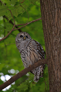 Chouette rayée / Barred Owl / Parc Angrignon