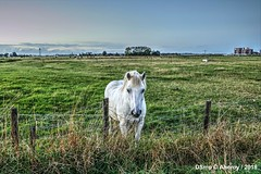 White Horse in Groninger Landschap,Groningen ,the Netherlands,Europe (Aheroy) Tags: paard groningen wit white groningerlandschap aheroy aheroyal horse weiland meadow pré rural platteland campo campagne landschaft landscape landschap whitehorse