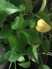 258 Simple & Green (Robin Penrose - Canadian eh?) Tags: 201809 green simple leaves plant project365 365the2018edition iphone