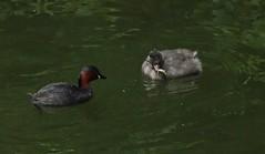 Dabchick Chicks II (Bricheno) Tags: glasgow park victoriapark grebe littlegrebe dabchick pond reflections bricheno scotland escocia schottland écosse scozia escòcia szkocja scoția 蘇格蘭 स्कॉटलैंड σκωτία chick fish feeding feeder