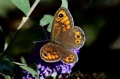DSC_4921 Mégère (sylvettet) Tags: papillon butterfly 2018 insecte lasiommatamegera buddleia satyre