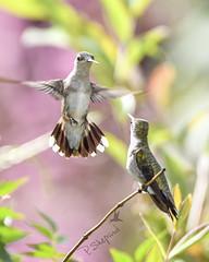 when friends drop by   9-7-18_023 (pmsswim) Tags: whenfriendsdropby rubythroatedhummingbird archilochuscolubris colibri inthegarden akathehumbirdjungle latesummer september 2018