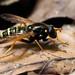 Beechwood hoverfly (Caliprobola speciosa), Parc de Woluwé, Bruxelles