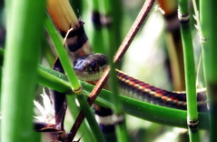 Hunting frogs (TJ Gehling) Tags: reptile snake colubridae gartersnake thamnophis plant fern pteridophyta equisetales equisetaceae horsetail equisetum pond canyontrailpark elcerrito