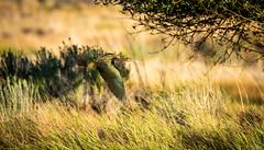 Juvenile White Headed Ibis
