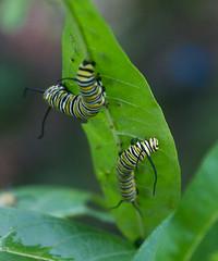 Monarch Caterpillars on Swamp Milkweed (Craig S Thom) Tags: kentucky louisville butterfly caterpillar milkweed monarch