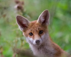 Young Fox (Vulpes vulpes) (2 of 2) - Taken at Sywell Country Park, Sywell, Northamtonshire. UK (Ian J Hicks) Tags: