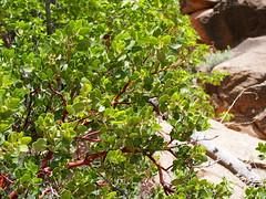 fanyal / manzanita (debreczeniemoke) Tags: unitedstatesofamerica amerikaiegyesültállamok usa unitedstates egyesültállamok us america utah zionnationalpark zioncanyon angelslanding növény plant fanyal manzanita arctostaphylos hangafélék erikafélék csarabfélék ericaceae olympusem5