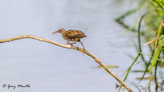 Water Rail - Rallies aquaticus