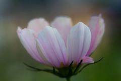 summer's close up (iwona.kilichowska) Tags: closeup plant plants flora dof blur bokeh colours light delicate bright summer nature multicolor